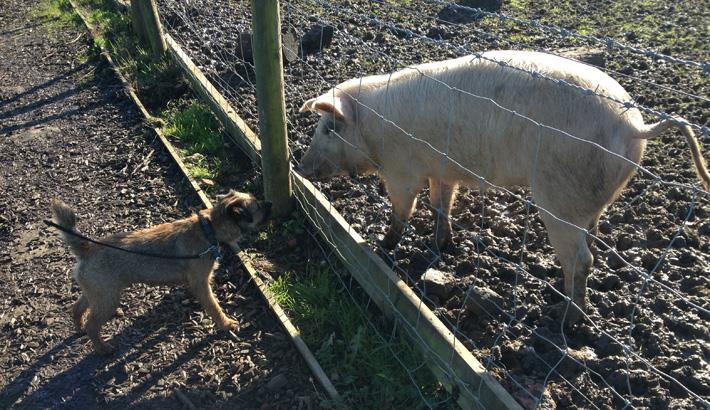 Rufus meets pig